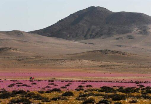 """El """"milagro"""" de las flores de Atacama, bajo la amenaza del cambio climático"""